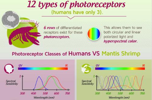 Vision (tetrachromatic)-Mantis shrimp photoreceptors