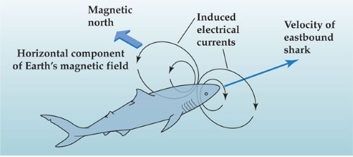magnetoreception-fish